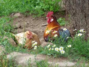 Hühner-Tiere